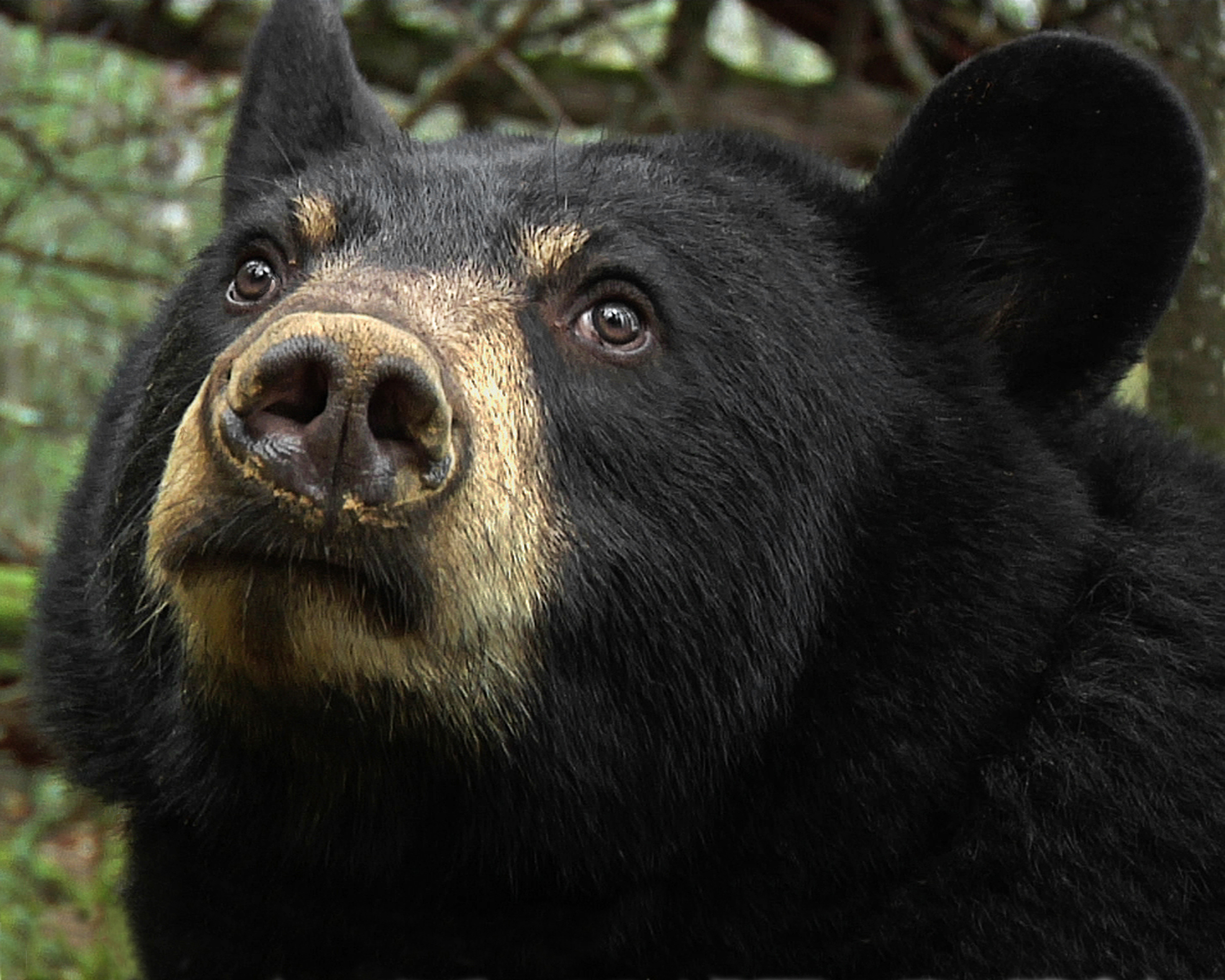 a research on the black bear A black bear's fur is dark black or brown in colour, sometimes showing a slight white patch on the chest  research habitat: black bears live throughout the .